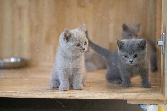 Hai bé mèo xám xanh và lilac con thuần chủng.