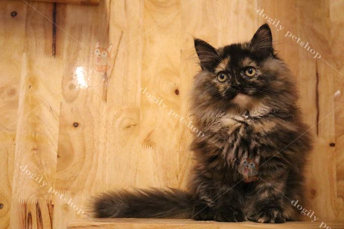 Mèo Anh lông dài cái màu tam thể 2 tháng tuổi