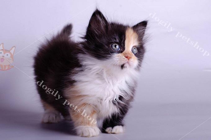 Ảnh: bé mèo Anh lông dài chân ngắn màu tam thể nhập khẩu Thái Lan.