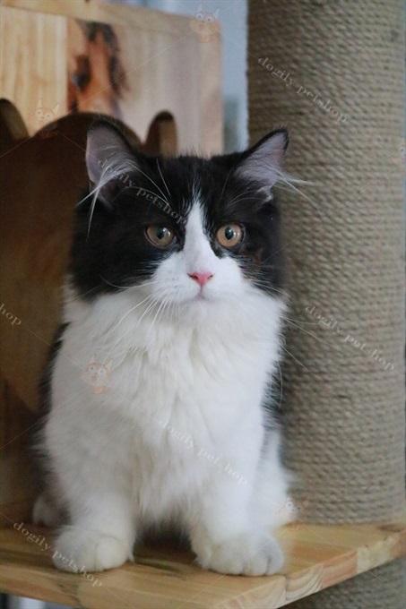 Mèo Anh lông dài chân ngắn màu Tuxedo tại Dogily Cattery Quận 10.
