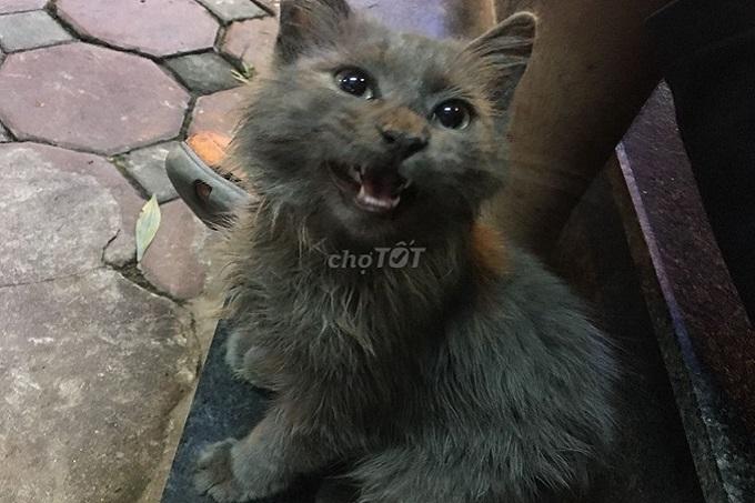 Một bé mèo Anh lông dài giá rẻ được đăng bán trên Chợ Tốt tháng 03.2020.