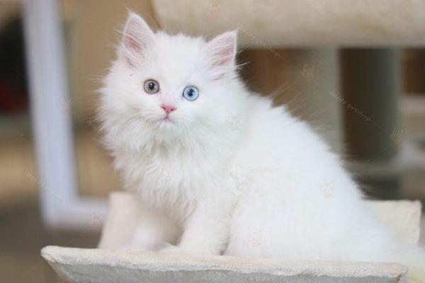 Một bé mèo Anh lông dài màu trắng 2 tháng tuổi cực dễ thương, cute tại Dogily Cattery.