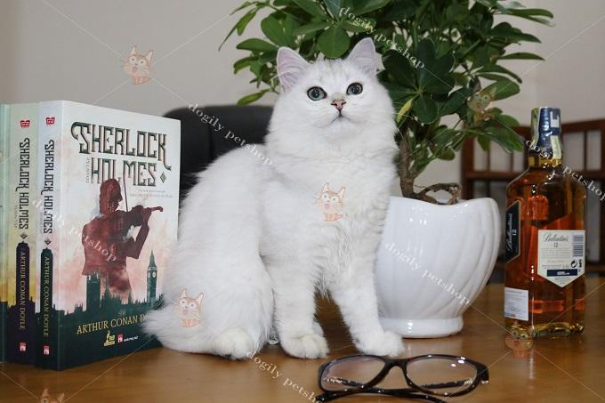 Mèo Anh lông dài nhập khẩu liên bang Nga màu Silver.