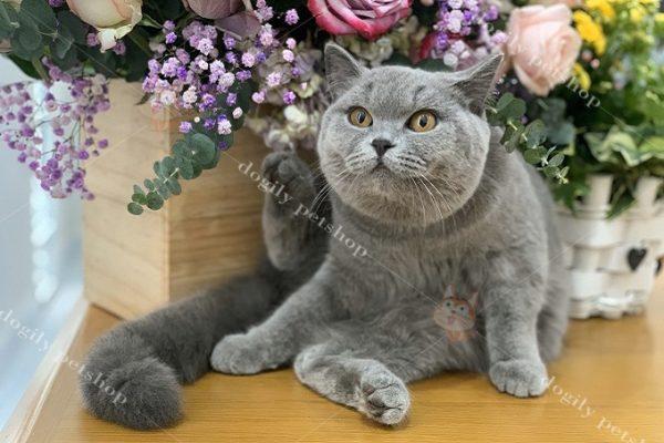 Mèo Anh lông ngắn béo mũm mĩm với gương mặt tròn như cái bánh bao