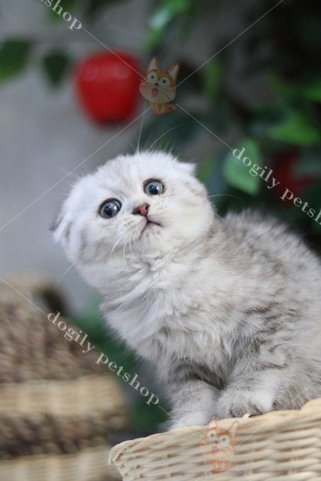 Giá mèo Anh lông ngắn (aln) con màu silver tau cụp dao động từ 14-16 triệu 1 con.