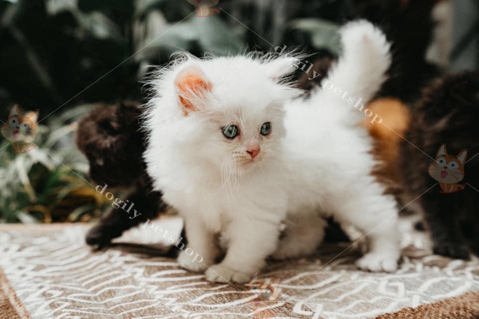 Bé mèo Ald trắng 1,5 tháng tuổi.