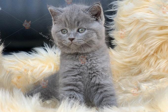 Mèo Anh màu xám tro 2 con