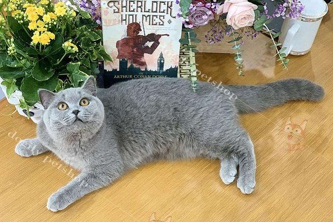 Mèo xám xanh nhập khẩu 8 tháng tuổi.