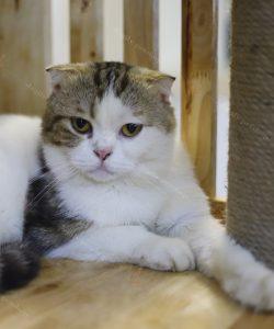 Mèo Anh lông ngắn tam thể đực