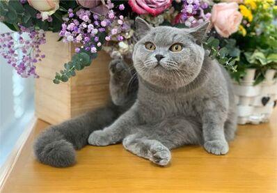 Bé mèo Aln thuần chủng màu xám xanh đực giống nhập khẩu Nga của Trại mèo Dogily Cattey.