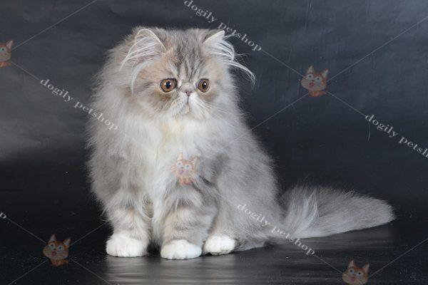Mèo Ba Tư 34 có mặt tịt, mũi ngắn ngay từ khi mới sinh.