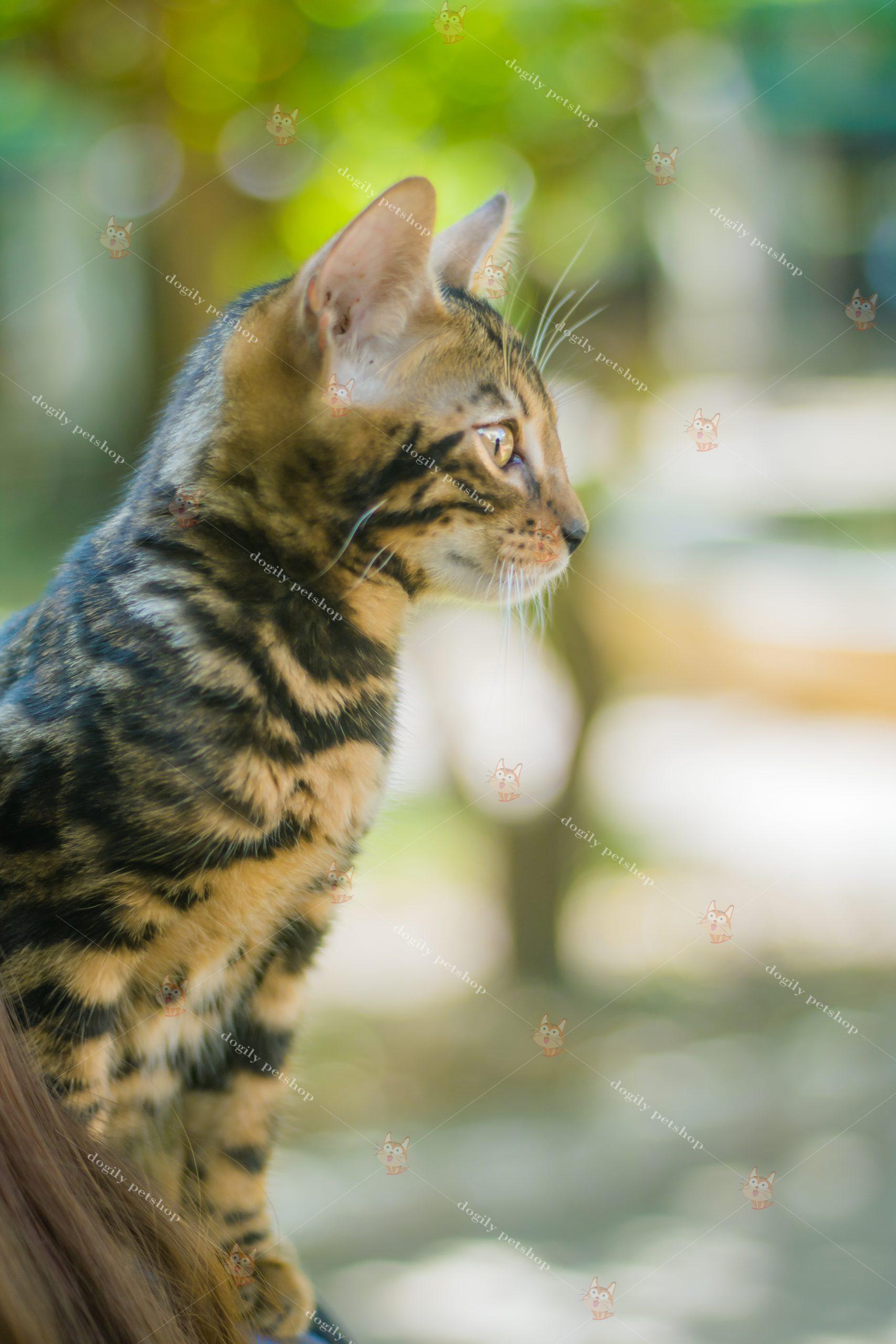 """Góc nghiêng """"thần thánh"""" của mèo Bengal"""