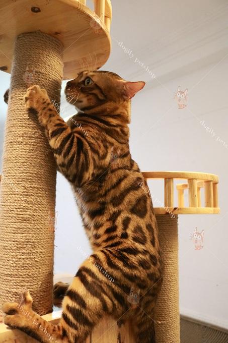 mèo bengal đực nhập khẩu - Beo 12 tháng tuổi