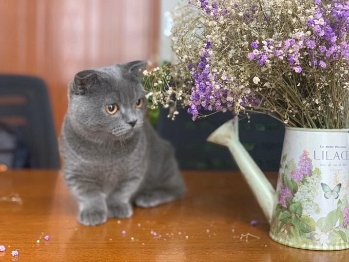 Mèo chân lùn tai cụp thường có giá cao gấp 2,3 lần so với mèo bình thường cùng màu.
