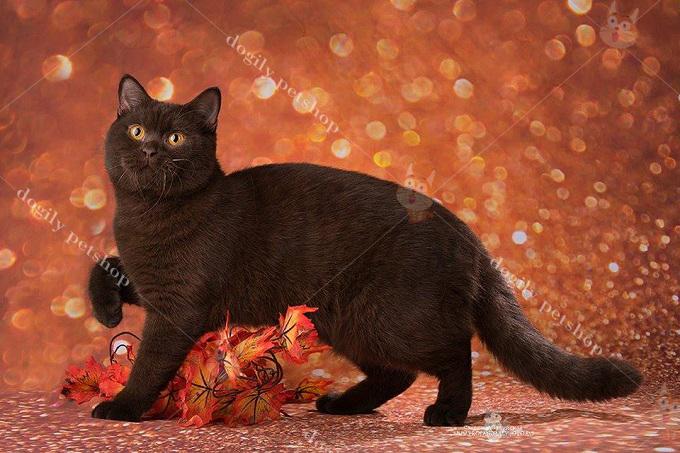 Bé mèo Cinnamon nhập khẩu Nga với đôi mắt vàng đồng cực ấn tượng và ấm áp.