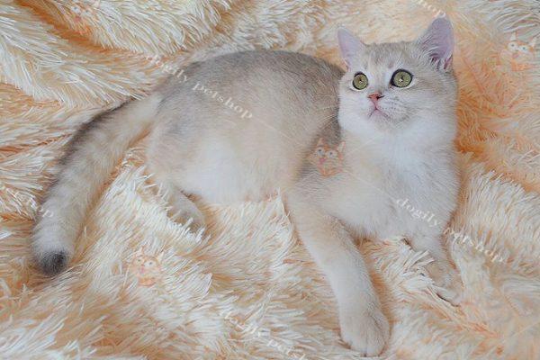 Mèo màu Golden nhập khẩu từ châu Âu (Nga, Ucraina, Ba Tư...) có giá không dưới 3.500 Usd.