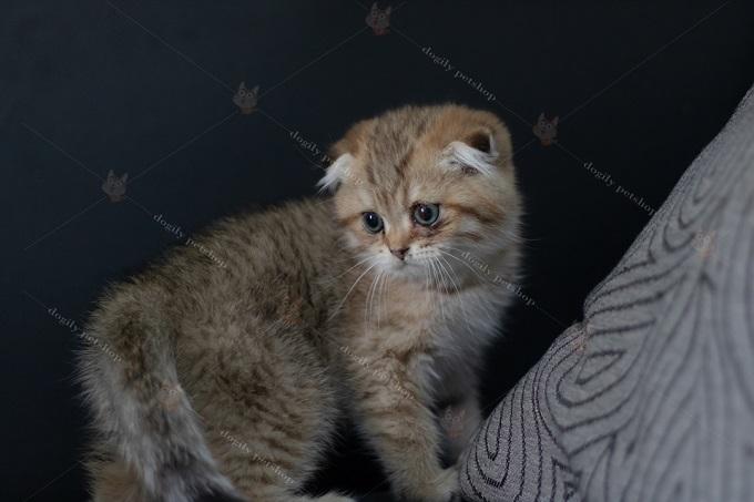 Mèo Golden tai cụp, chân thẳng giá từ 25-35 triệu tùy theo mức độ cụp.