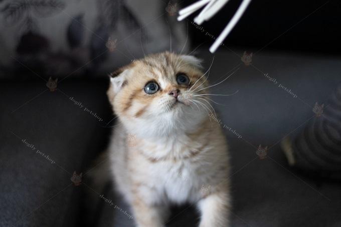 Mèo Golden tai cụp Triple Fold 2 tháng tuổi.