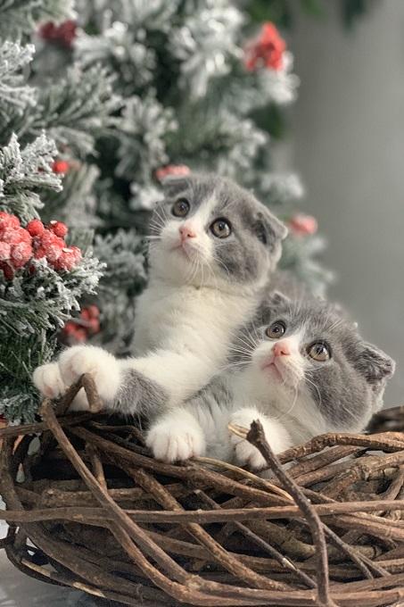 Toàn bộ mèo Scottish Fold khi sinh tai đều thẳng. Chỉ sau 18-24 ngày tai mèo con mới cụp dần xuống.