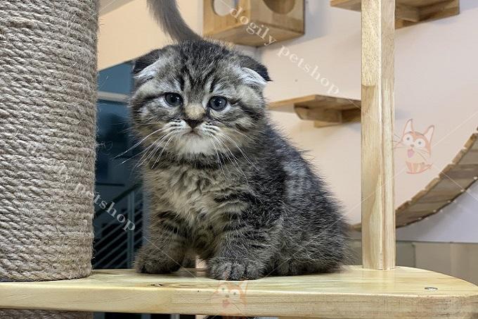 Mèo Scottish tabby classic tai cụp sát giá từ 15-18 triệu.