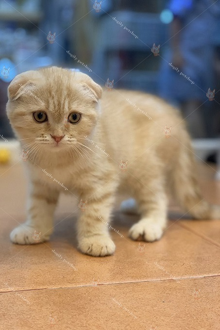 Mèo Scottish Triple Fold 2,5 tháng tuổi tại trại Dogily Cattery.