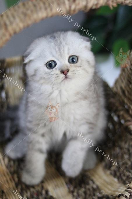 Giá mèo Silver tai cụp từ 15-20 triệu 1 bé tùy độ đẹp và mức độ tai cụp