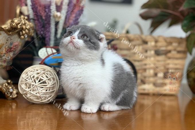 Hình ảnh bé mèo tai cụp chân ngắn với bộ lông màu bicolor tuyệt đẹp sinh tại trại mèo Dogily Cattery tháng 08 năm 2019.