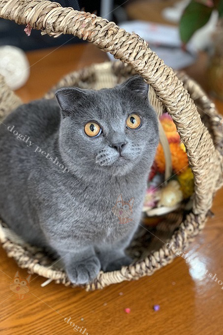 Mèo tai cụp chân ngắn xám xanh tại Dogily Cattery giá cao hơn với ngoại hình tròn trịa, mặt bánh bao, mắt vàng đồng siêu chuẩn.