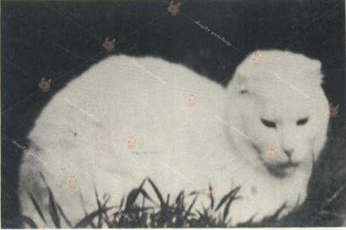 Susie - Cô mèo tai cụp đầu tiên trên thế giới được phát hiện năm 1961.