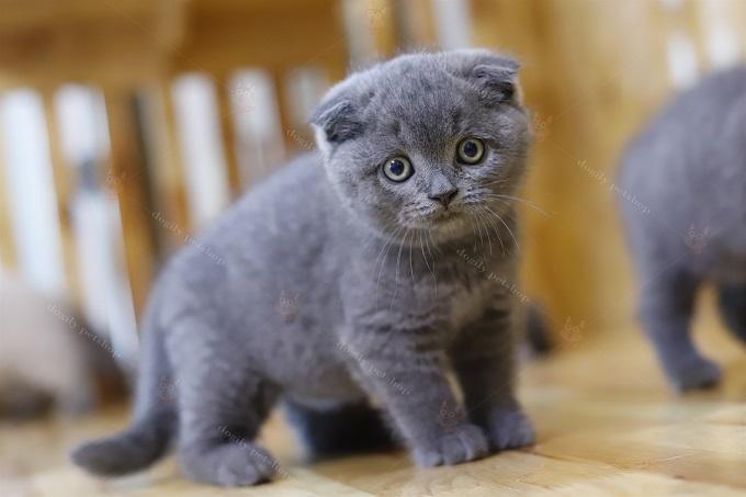 Mèo xám xanh tai cụp double fold.
