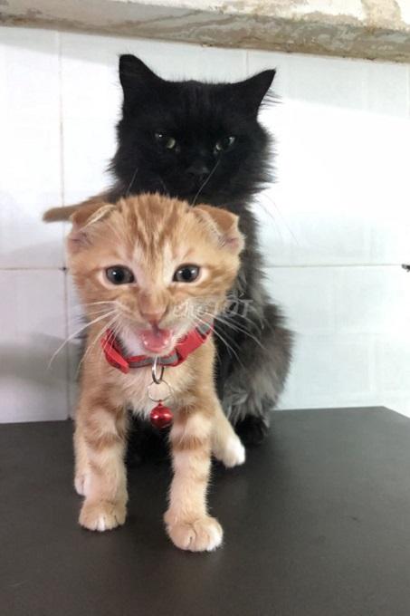 Một bé mèo tai cụp lai mèo ta giá rẻ được rao bán trên Chợ Tốt.