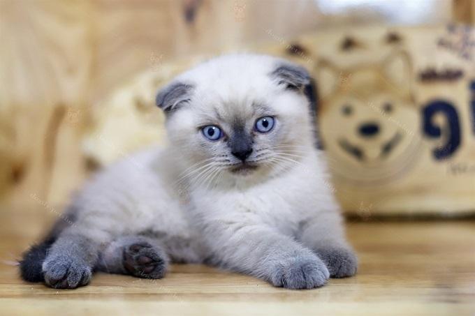 mèo Scottish Fold màu Himalaya