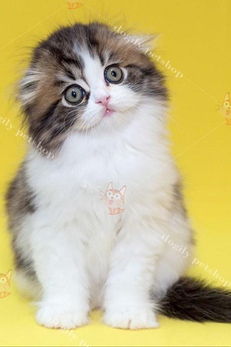 Ảnh: một bé mèo tam thể nhập Nga được bán trên hệ thống Dogily Petshop.