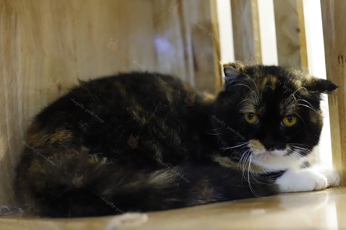 Mèo tam thể tricolor tai cụp lửng single fold tại trại mèo Dogily.