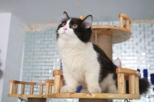 Mèo Anh lông dài tuxedo 5 tháng tuổi.