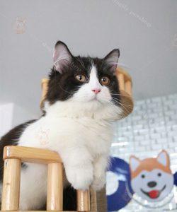 thông tin về mèo chân ngắn