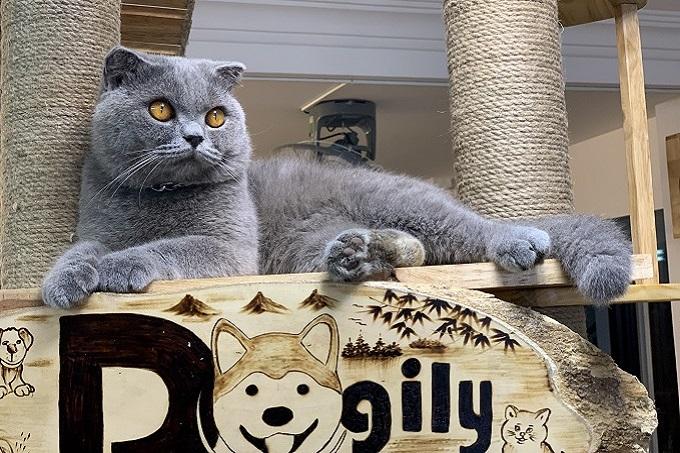 Chanh: chú mèo xám xanh tai cụp trưởng thành đực phối giống nhà Dogily.