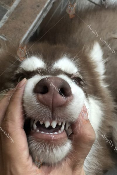 Mọc răng ở chó con