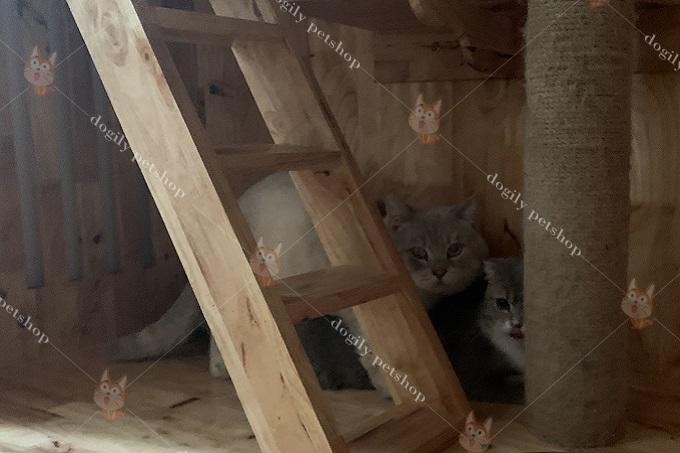 Một ca phối mèo chân ngắn Munchkin tai thẳng và mèo Scottish tai cụp.
