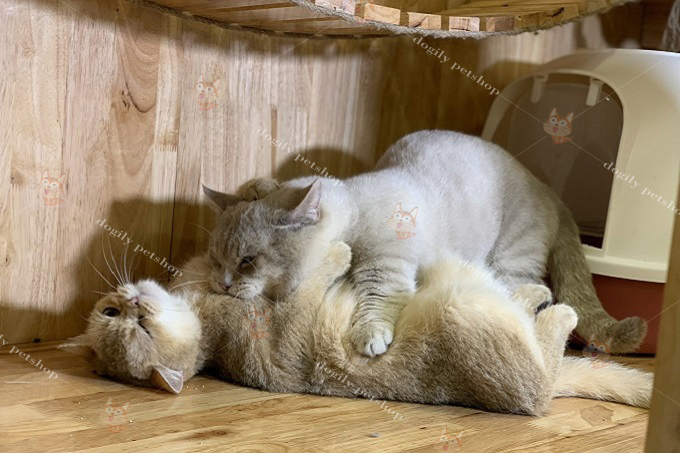 Phối giống Mèo Aln đực Blue Golden và cái Golden Ny12 tại trại mèo Dogily Cattery.