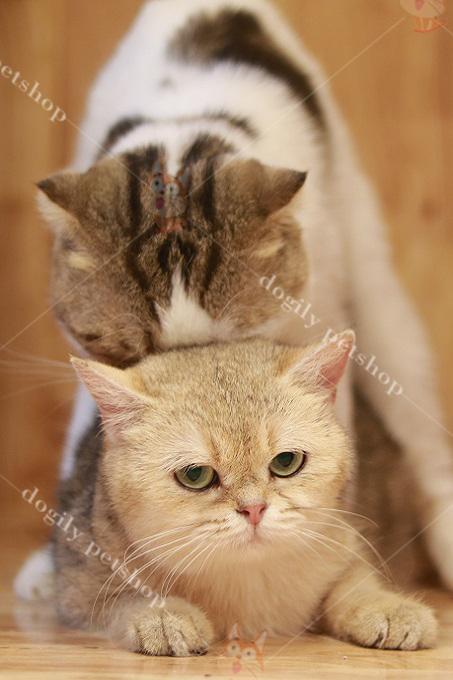 Phối giống mèo tai cụp đực màu tam thể với mèo Golden cái tai thẳng. Tại Dogily Cattery, giá phối giống từ 5-15 triệu/lần.