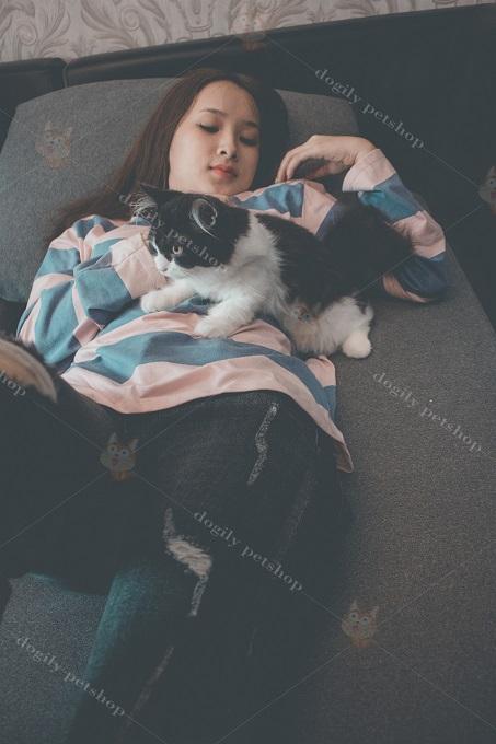 Mèo Anh lông dài rất tình cảm và thích được ở cùng trong nhà với chủ nhân.