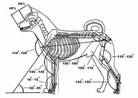 Các tiêu chuẩn về tỷ lệ hình thể của chó Akita Inu
