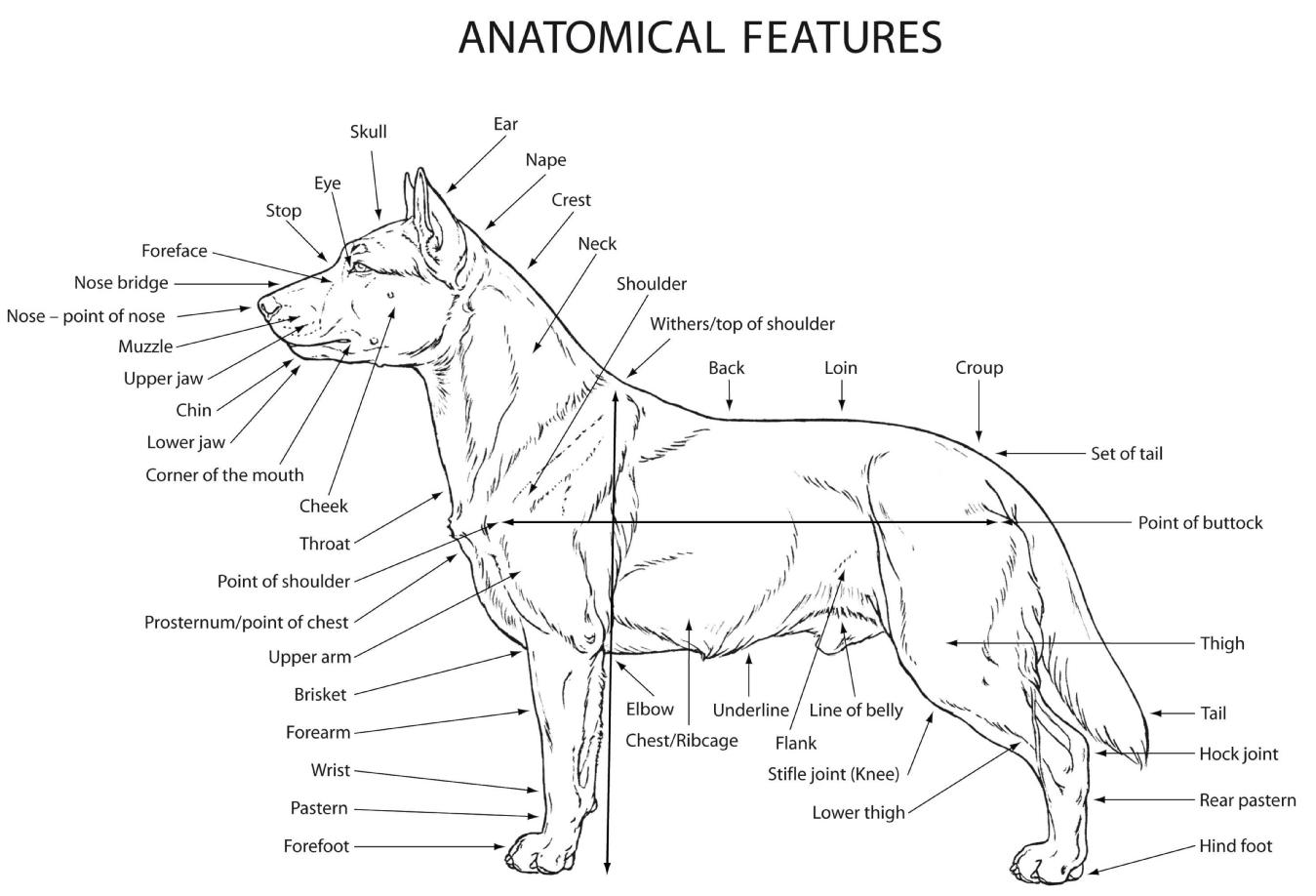 Các tiêu chuẩn về giải phẫu học của chó Akita Inu thuần chủng