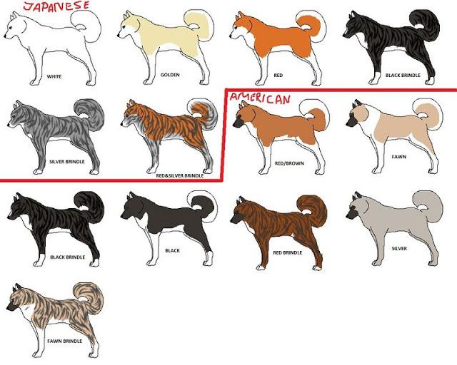 Các màu cơ bản của bộ lông chó Akita Inu. So sánh với American Akita (Akita Mỹ) - một nhánh khác của chó Akita