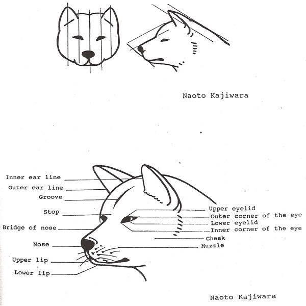 Tiêu chuẩn chó Akita Inu: phần đầu và hộp sọ