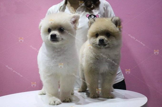 Bán chó Phốc sóc mặt gấu màu kem, vàng 2,5 tháng tuổi - Dogily Petshop Sài Gòn.