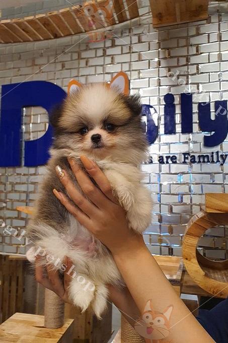 Tại Dogily Petshop, chúng tôi bán chó Phốc sóc (Pomeranian) có giấy và không giấy VKA.