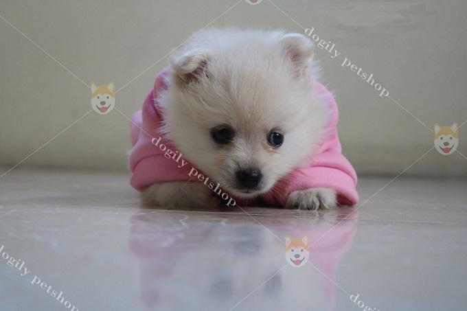 Bán chó Pom trắng 1,5 tháng tuổi.