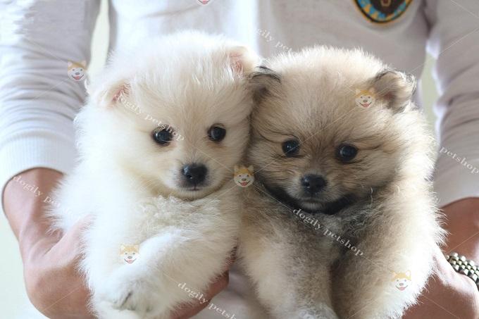 Bán chó Pomeranian 1,5 tháng tuổi tại Dogily Pet Shop Hà Nội.
